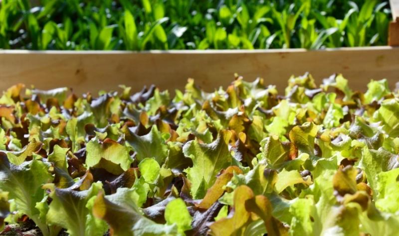 Jungpflanzen vom Hof Domanja