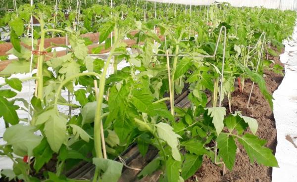 Tomatenpflanzen im Gewächshaus - Hof Domanja