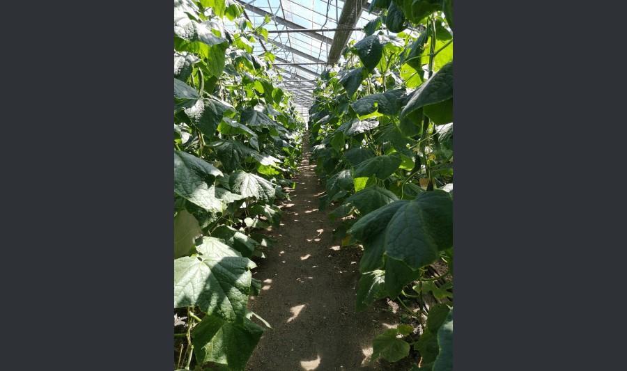 Neubepflanzung_Gurken_Hof_Domanja